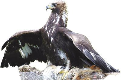 Eagle-Aigle-Águila-Àguila (106 x 70 cm) Image