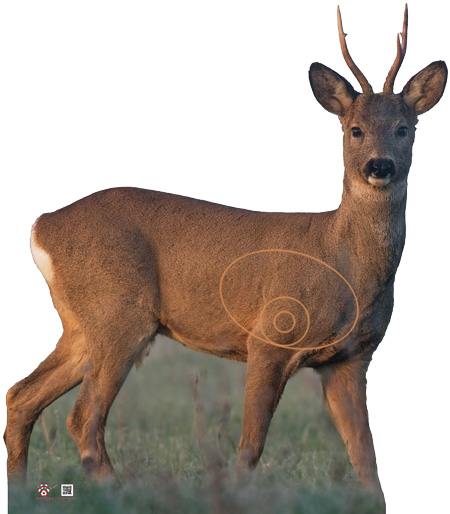 Corzo-Cabirol-Roe_deer-Chevreuil