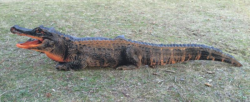 Cocodril-Cocodrilo-Crocodile-Crocodile