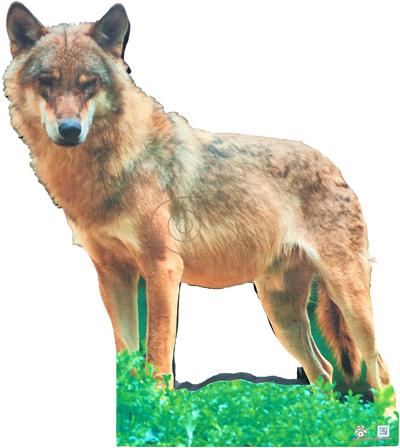 Llop-Lobo-Wolf-Loup