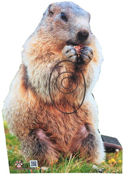 Marmota-Marmota-Groundhog-Marmotte