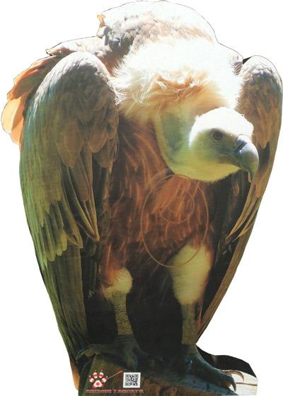Vulture-Vautour-Buitre-Voltor (54 x 80 cm) Image