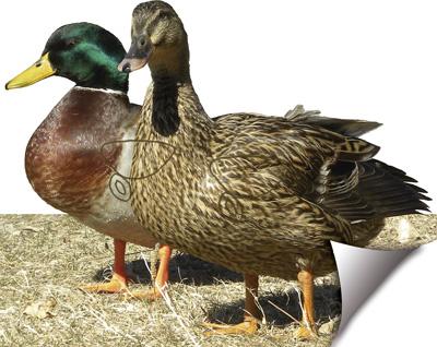 Ànec-Pato-Duck-Canard