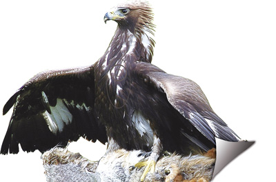 Àguila-Águila-Eagle-Aigle