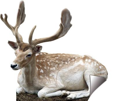Daina-Gamo-Fallow deer-Cerf