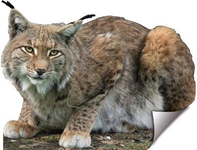 Linx-Lince-Lynx-Lynx