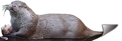 Llúdriga-Nutria-Otter-Ragondin