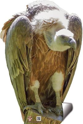 Voltor-Buitre-Vulture-Vautour